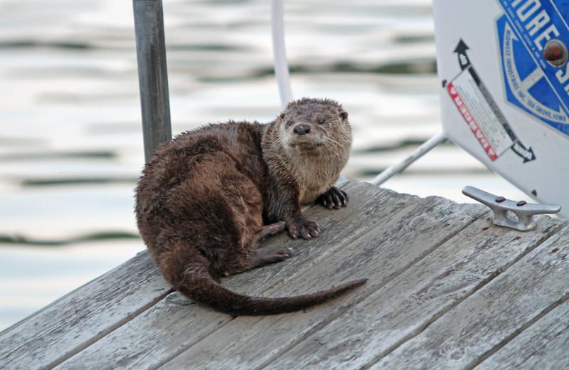 Otter at Arrowhead Lodge & Resort.