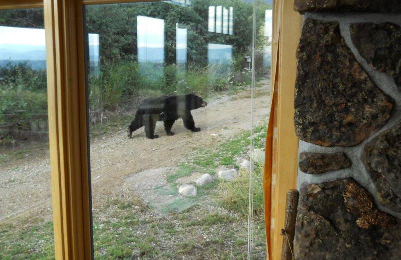 bear at Williams Fork Lodging.