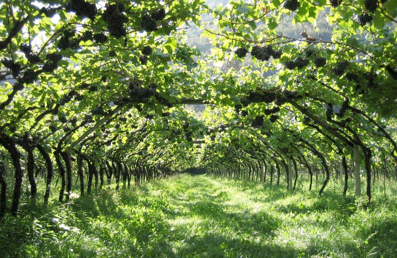 Vineyard at Morrell Ranch.