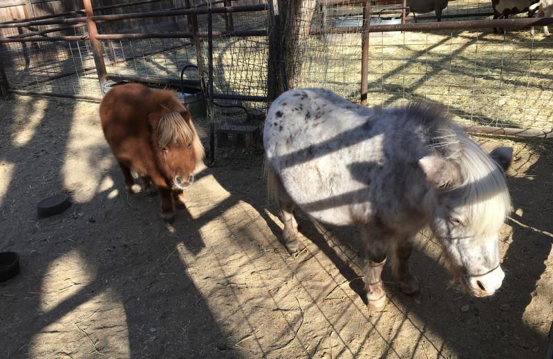 Mini horses at Rankin Ranch.