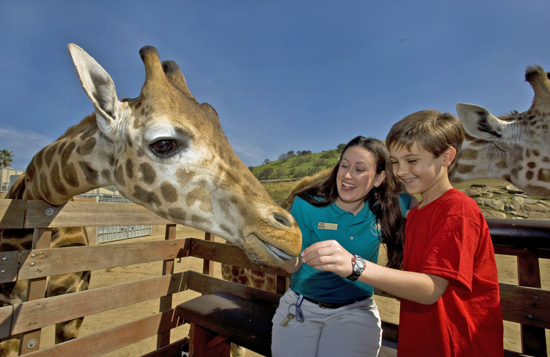 Family feeding giraffe at Town and Country Resort & Convention Center.