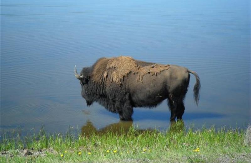 Buffalo near Bill Cody Ranch