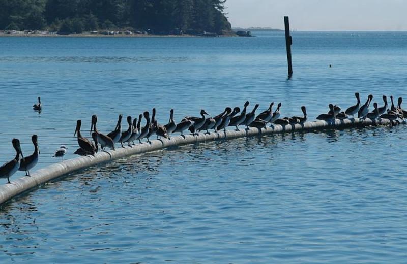 Pelicans at The Garibaldi House Inn.