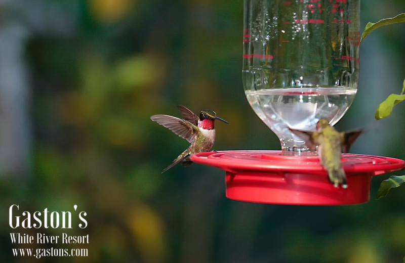 Hummingbirds at Gaston's White River Resort.