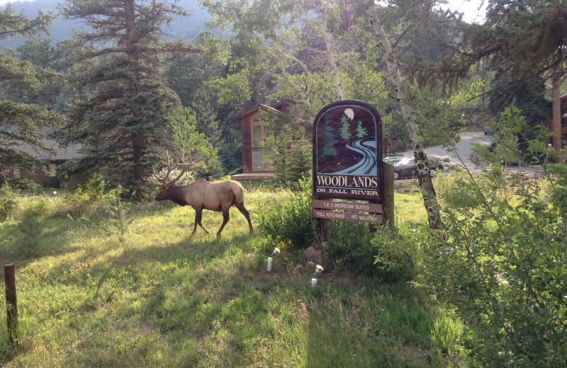 Elk at Woodlands On Fall River.