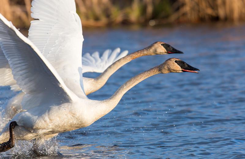 Swans at Ninepipes Lodge.
