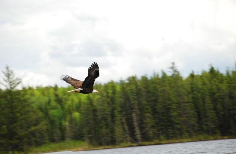Eagle sighting at Uchi Lake Lodge.