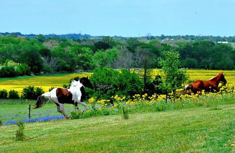 Horses running at Texas Ranch Life.