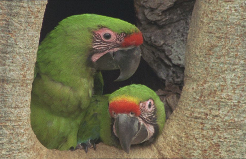 Green macaws at La Laguna del Lagarto Lodge.