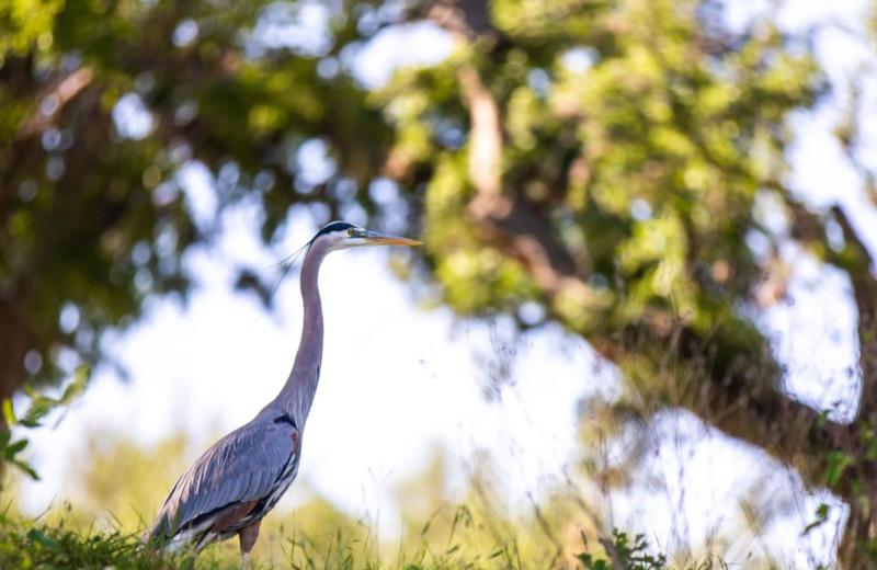 Crane at Log Country Cove.