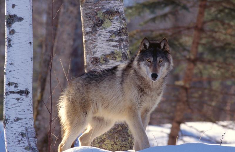 Gray wolf at Johnston Canyon Resort.