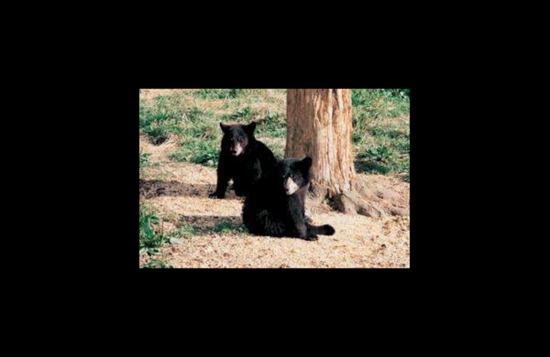 Black bears at Eagle Wing Resort.