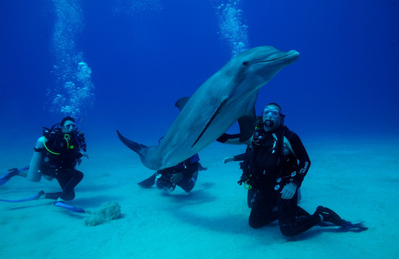 Diving with dolphins at Anthony's Key Resort.