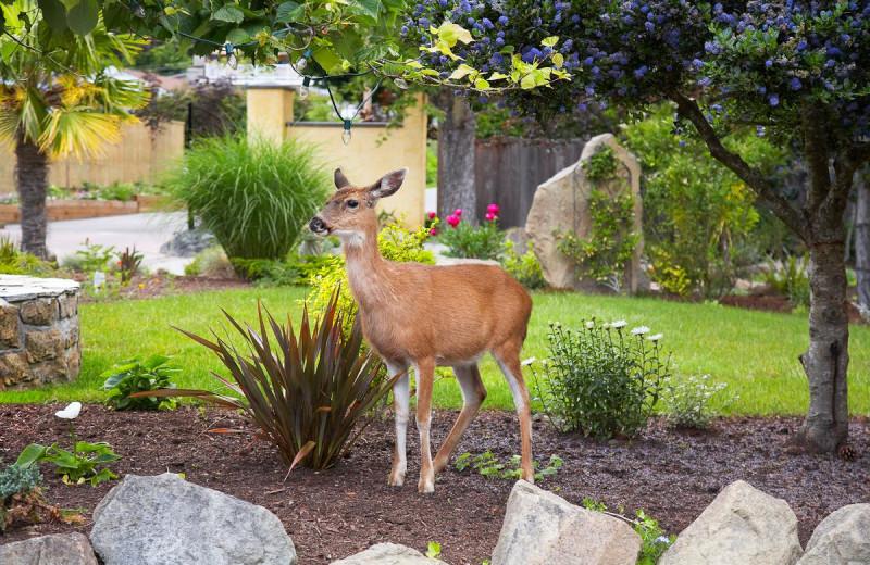 Deer in garden at Galiano Oceanfront Inn and Spa.