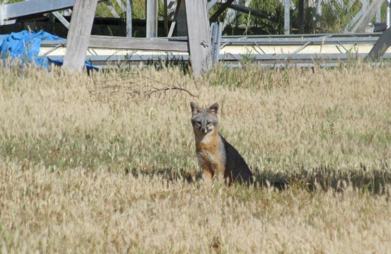 Coyote at Pleasure Cove.