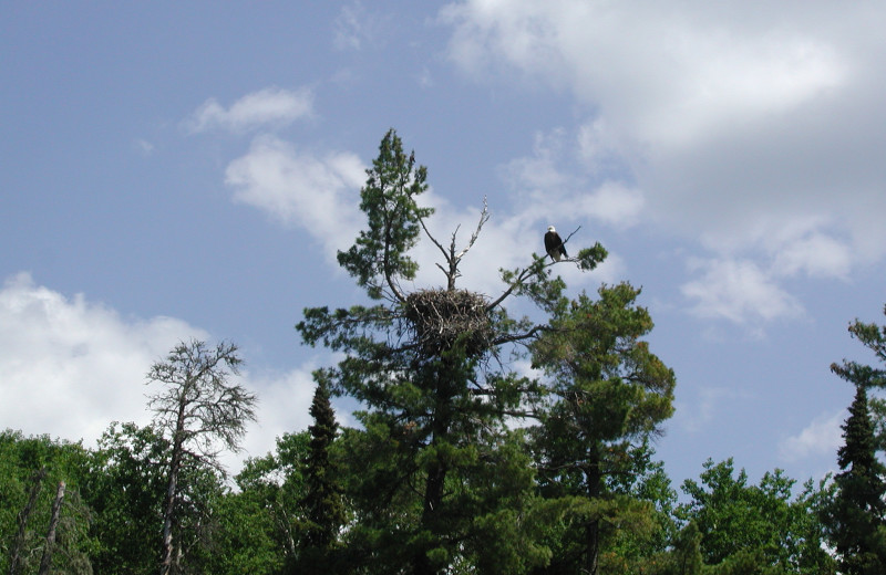 Eagle nest at Maynard Lake Lodge and Outpost.