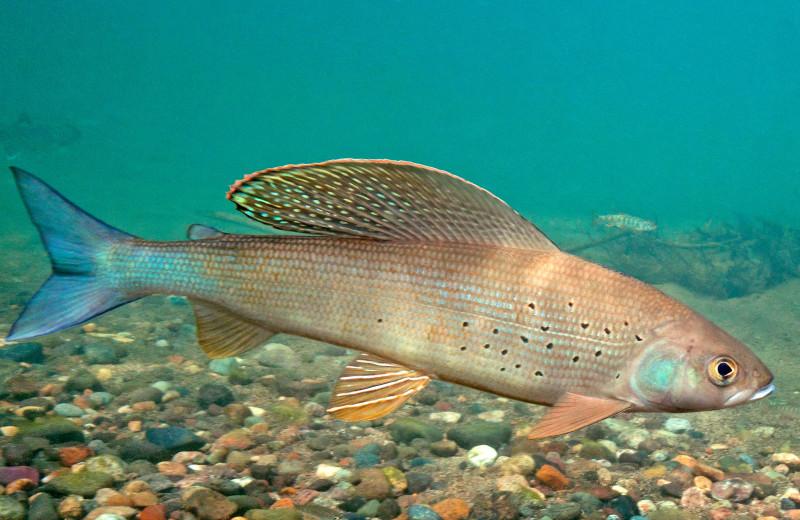 Fish at Alaska Trophy Adventures Lodge.