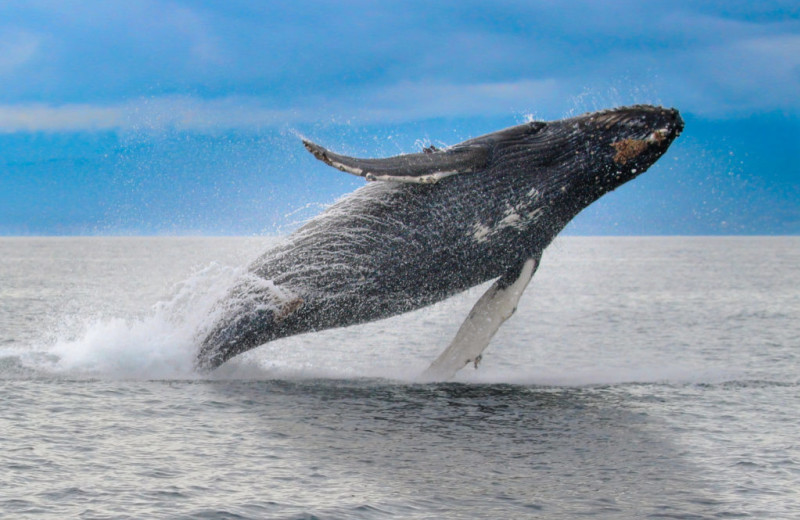 Whale watching at SookePoint Ocean Cottage Resort.