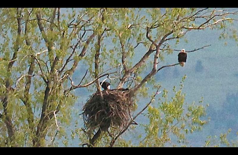 Bald eagle nest at Ninepipes Lodge.
