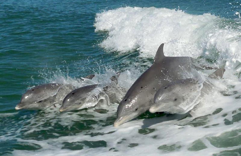 Dolphins at The Delacado on Sunset Beach.
