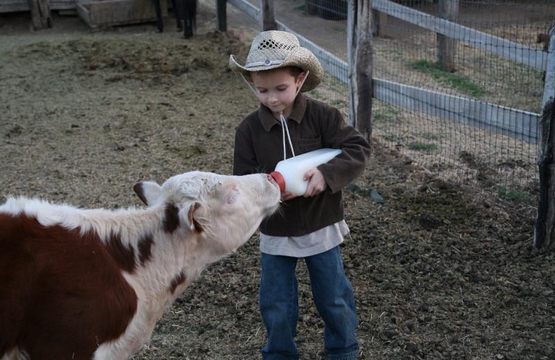 Bottle feeding cattle at Rankin Ranch.