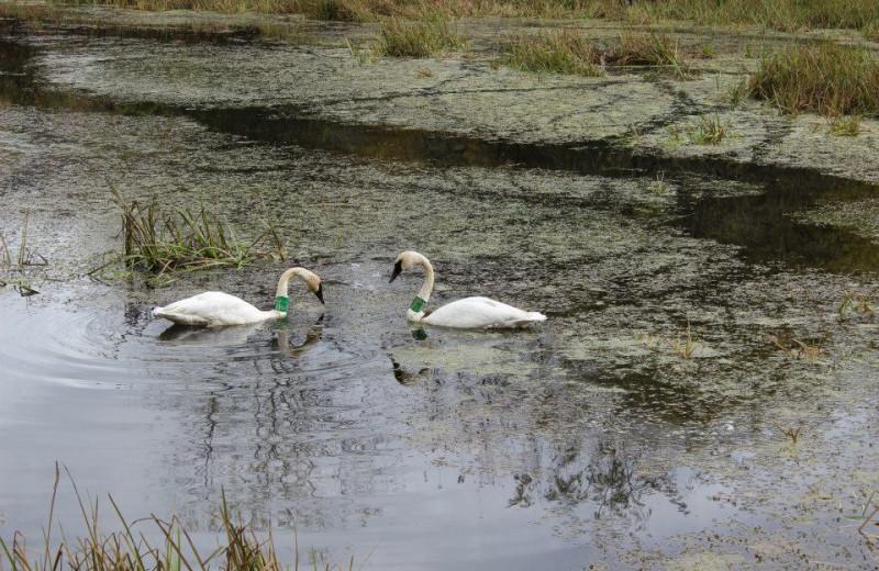 Swans at Saddleback Lodge.