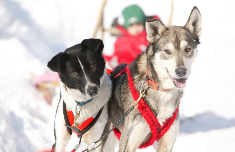 Excited dogs ready to go sleddding.