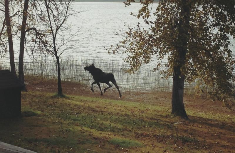Moose at Elk Lake Wilderness Resort.
