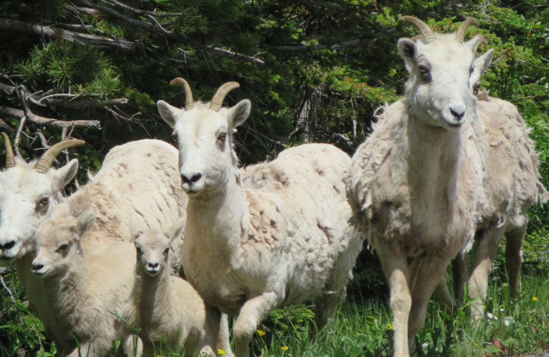 A mountain goat family in the park