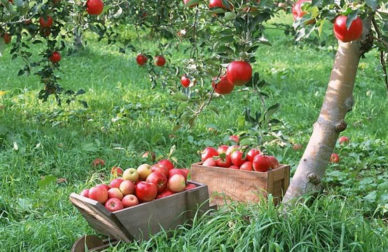 Pick your own apples near Pheasant Park Resort.