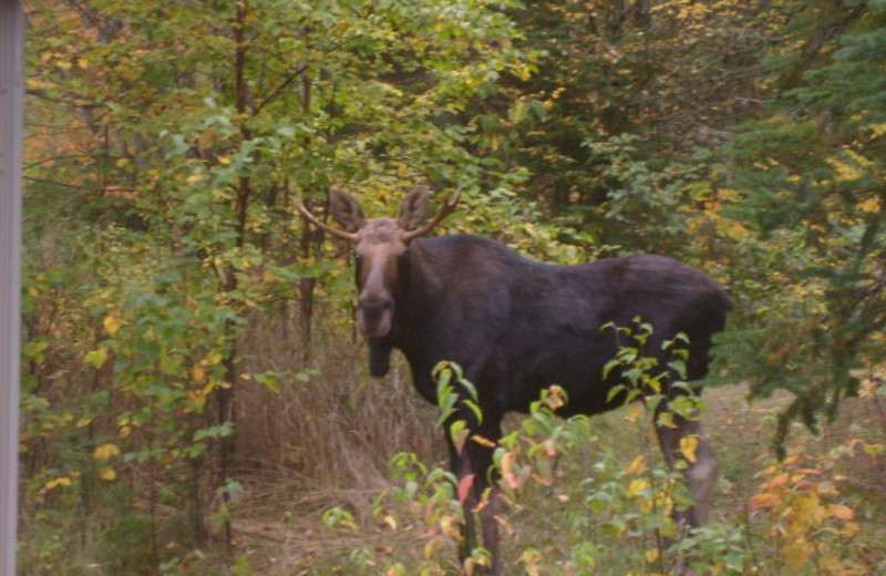 Moose at Cascade Lodge.