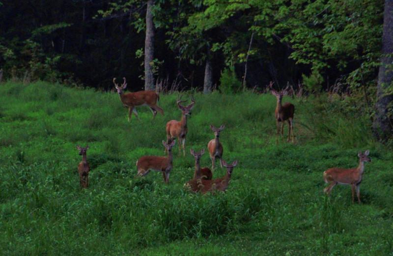 Deer at Singletree Gun & Plough.