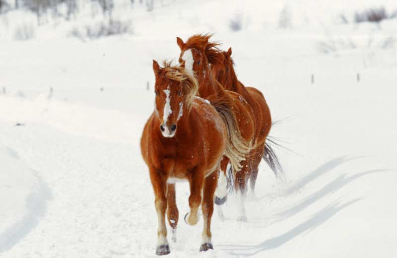 Horses running through snow at Vista Verde Ranch.