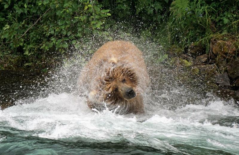 Bear shaking at Alaska Trophy Adventures Lodge.