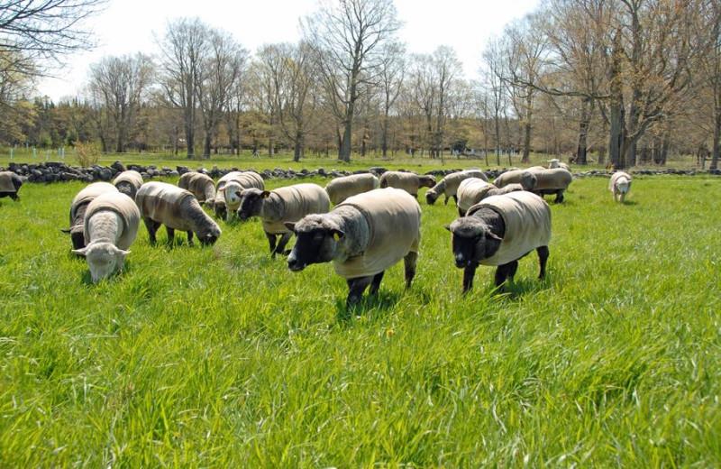Sheep at Whitefish Bay Farm.