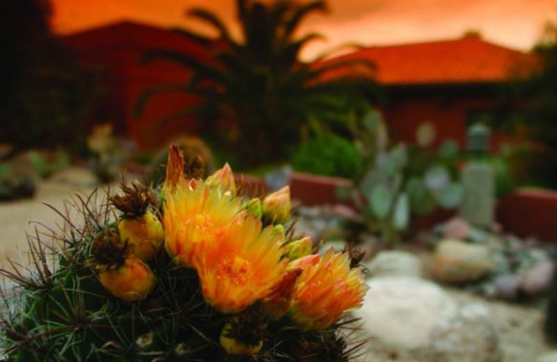 Cactus blossoming at Canyon Ranch Tucson.