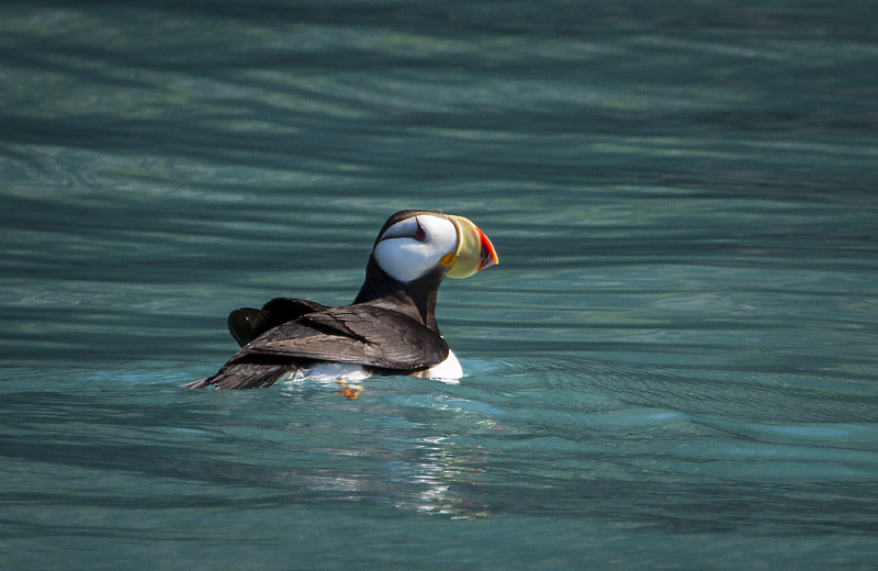 Puffin at Kenai Backcountry Lodge.