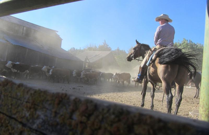 Cattle round up at Rankin Ranch.