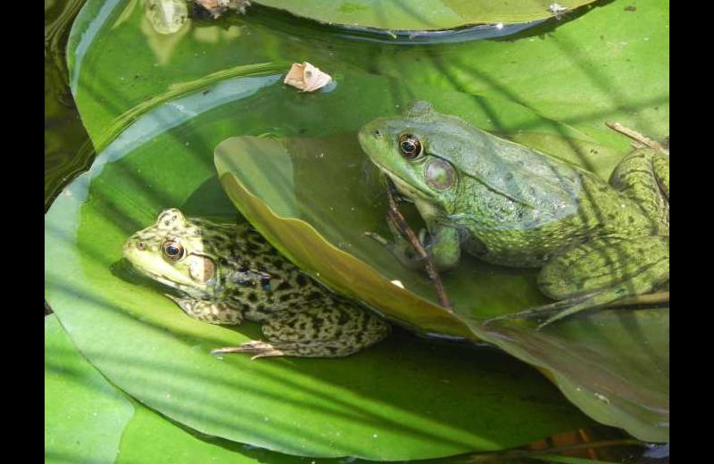 Frogs at Sleeping Bear Bed & Breakfast.