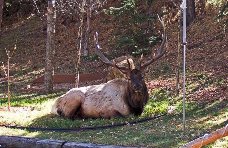 Elk at 4 Seasons Inn.