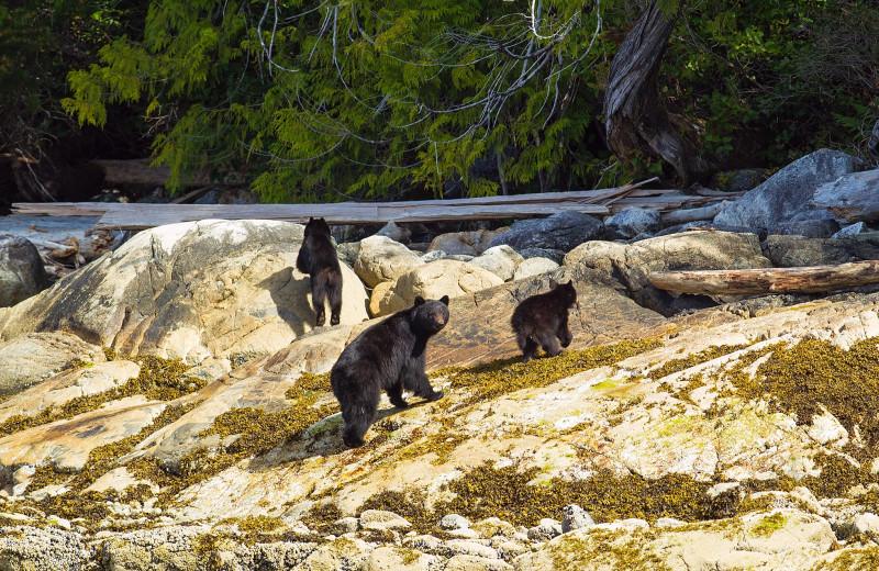 Bears at Nootka Wilderness Lodge.