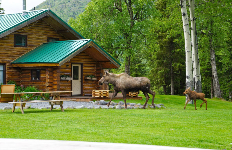 Moose at Alaska Heavenly Lodge.