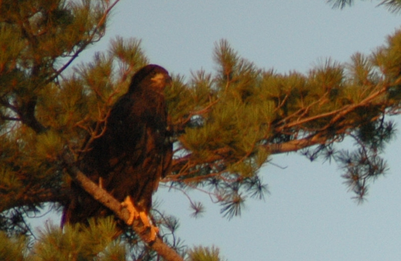 Raptor at Whispering Pines Resort.