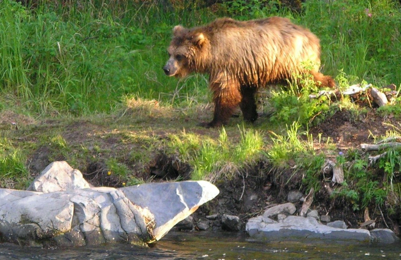 Brown bear at Kenai River Drifter's Lodge.