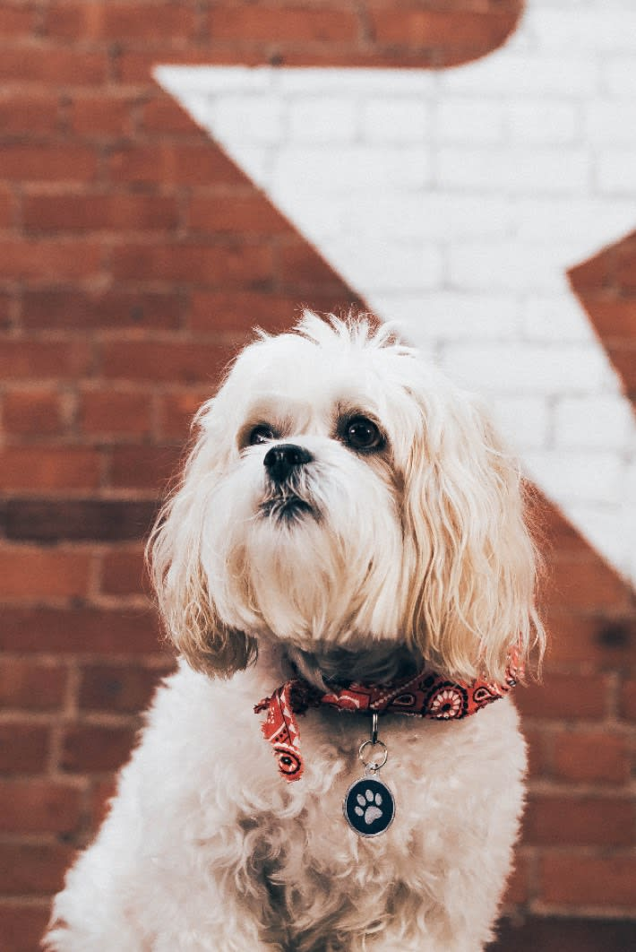 Response's office dog Calvin, a maltese with a red bandana and paw tag around his neck sitting in front of a brick wall.