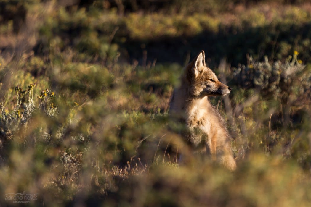 Coyote - Chile, Patagonia