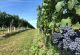 rhoen-weingut-elfenhof-trauben-blau
