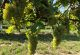rhoen-weingut-elfenhof-trauben