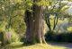Eiche in Kilianshof
