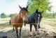 rhoen-rundweg-1-zella-pferd